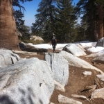 251-lodegpole-pine-jpg